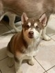 Siberian Husky Puppy For Sale in IRVING, Texas,
