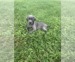 Image preview for Ad Listing. Nickname: Weim puppies