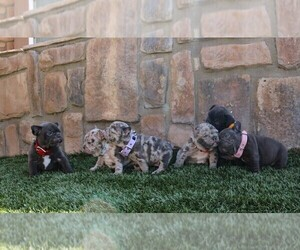 French Bulldog Puppy for Sale in JURUPA VALLEY, California USA