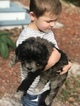 Newfoundland-Poodle (Standard) Mix Puppy For Sale in RIVERVIEW, FL, USA