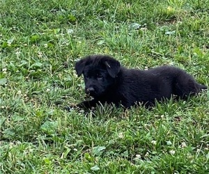 German Shepherd Dog Puppy for sale in HENDERSONVILLE, TN, USA
