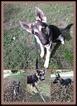 German Shepherd Dog Puppy For Sale in QUINLAN, TX, USA