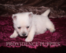 West Highland White Terrier Puppy For Sale in WAYLAND, IA, USA