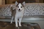 Pomsky Puppy For Sale in DRACUT, MA, USA