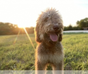 Poodle (Standard) Puppy for sale in HENRIETTA, TX, USA