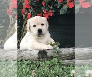 Labrador Retriever Puppy for sale in VALLEY CITY, OH, USA