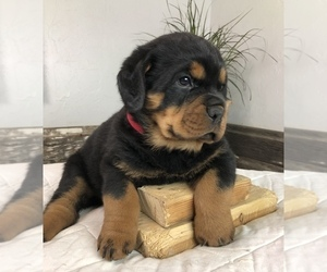 Rottweiler Puppy for Sale in FORT MORGAN, Colorado USA