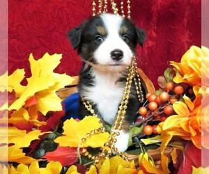 Miniature Australian Shepherd Puppy for Sale in HARTVILLE, Missouri USA