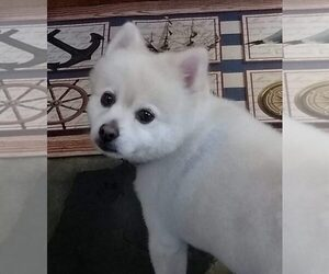 Pomeranian Dog for Adoption in JORDAN VILLAGE, Connecticut USA