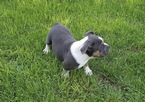 Olde English Bulldogge Puppy For Sale in CIRCLEVILLE, NY