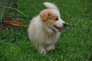 View Ad Border Collie Puppy For Sale Near Virginia Meadowview Usa