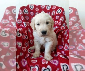 English Cream Golden Retriever Puppy for sale in MECHANICSVILLE, VA, USA