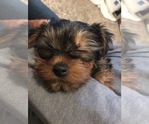 Yorkshire Terrier Puppy for sale in NEWHALL, CA, USA