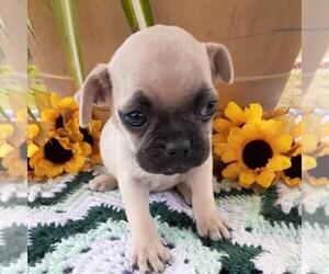 Pug Puppy for sale in CALLAO, VA, USA