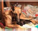Small #2 Belgian Malinois-Dutch Shepherd Dog Mix