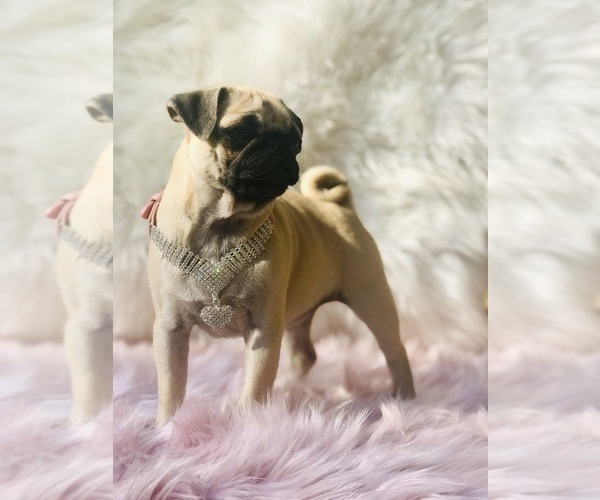Medium Photo #14 Pug Puppy For Sale in CANTON, CT, USA