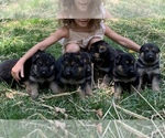 German Shepherd Dog Puppy For Sale in CHARLOTTE, NC, USA