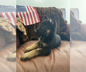German Shepherd Dog Puppy for Sale in TEMECULA, California USA
