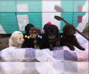 Labradoodle Dog for Adoption in OTTAWA, Ohio USA