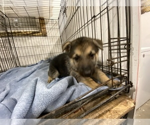 German Shepherd Dog Puppy for sale in BEULAVILLE, NC, USA