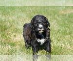 Puppy 7 Springerdoodle