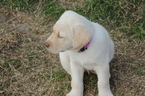 Labrador Retriever Puppy For Sale in GRAND PRAIRIE, TX