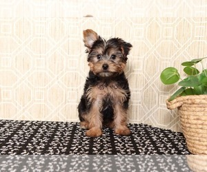 Yorkshire Terrier Puppy for sale in EL CAJON, CA, USA