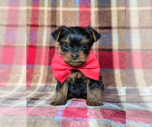 Yorkshire Terrier Puppy for sale in QUARRYVILLE, PA, USA