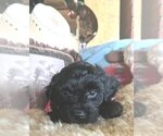 Cavachon-Poodle (Miniature) Mix Puppy For Sale in FREWSBURG, NY, USA