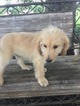 Goldendoodle Puppy For Sale in EASLEY, SC, USA