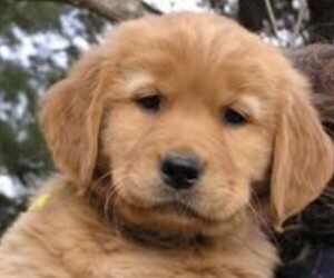 Golden Retriever Puppy for Sale in STANFORD, Kentucky USA