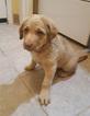 Chesapeake Bay Retriever Puppy For Sale in VAN BUREN, AR,