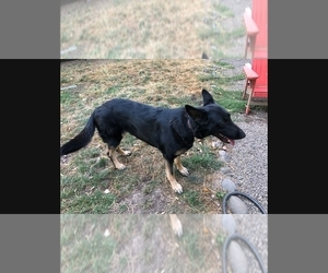 German Shepherd Dog Puppy for sale in GASTON, OR, USA