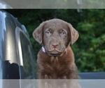 Puppy 5 Shepradors