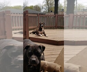 Father of the American Pit Bull Terrier puppies born on 03/17/2019