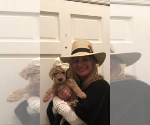 Goldendoodle Puppy for Sale in FRED, Virginia USA