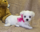 Maltese Puppy For Sale in BARNETT, MO, USA