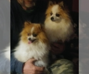 Mother of the Pomeranian puppies born on 04/30/2021
