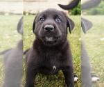 Puppy 7 Labrador Retriever-Siberian Husky Mix