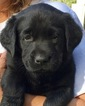 Labrador Retriever Puppy For Sale in MOULTRIE, GA