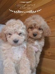 Maltipoo Puppy For Sale in CEDAR HILL, MO, USA