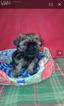 Shih Tzu Puppy For Sale in HARRIMAN, TN, USA