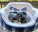 French Bulldog Puppy For Sale in DOUGLASVILLE, GA, USA