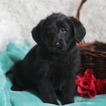 Miniature Labradoodle Puppy For Sale in GAP, PA, USA