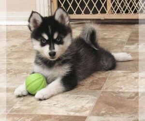 Medium Pomsky