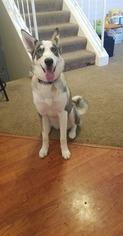 Mother of the Alaskan Husky-German Shepherd Dog Mix puppies born on 01/11/2019