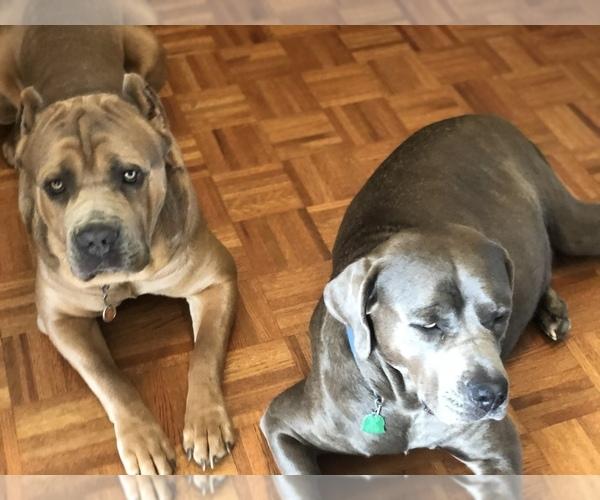Medium Photo #6 Cane Corso Puppy For Sale in AMARILLO, TX, USA