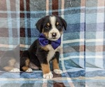 Small #2 Greater Swiss Mountain Dog