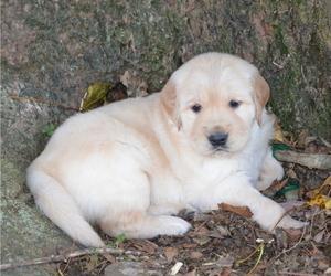 Golden Retriever Puppy for Sale in LANCASTER, Pennsylvania USA