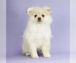 Puppy 7 Pomeranian
